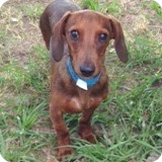 Dachshund Puppy for adoption in Houston, Texas - Rudy Ringbearer