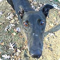 Adopt A Pet :: Ella - Swanzey, NH