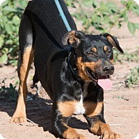 Labrador Retriever/Australian Cattle Dog Mix Dog for adoption in Rio Rancho, New Mexico - Roz