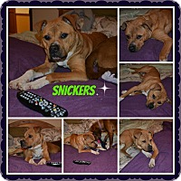 Adopt A Pet :: Snickers - Lawrenceville, GA