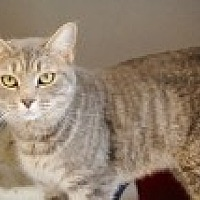 Domestic Shorthair Cat for adoption in Marietta, Georgia - Patriot