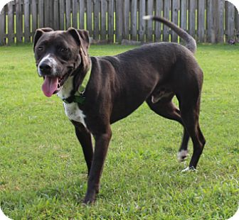 Labrador Retriever/Pointer Mix Dog for adoption in Baton Rouge, Louisiana - Mitch
