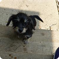 Adopt A Pet :: Petunia - Wyanet, IL