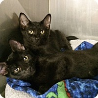 Adopt A Pet :: Johnny Cash - Byron Center, MI