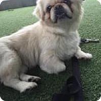 Adopt A Pet :: Bo - Van Nuys, CA