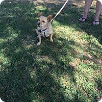 Adopt A Pet :: Buffy - Santa Ana, CA