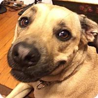 Anatolian Shepherd/Boxer Mix Dog for adoption in Boston, Massachusetts - Corbin