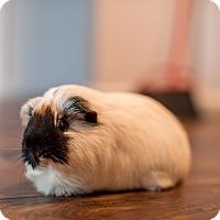 Adopt A Pet :: Cookie - Manhattan, KS