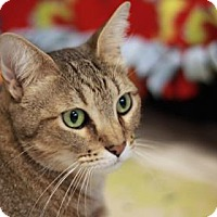 Domestic Shorthair Cat for adoption in Kyle, Texas - SYMI