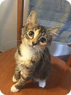Domestic Mediumhair Kitten for adoption in Davison, Michigan - Mae