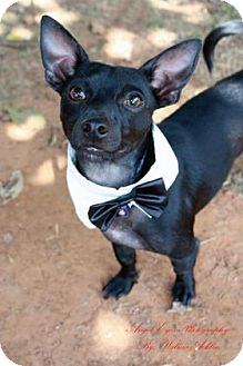 Chihuahua Mix Dog for adoption in Norman, Oklahoma - Riddler