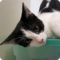 Domestic Shorthair Kitten for adoption in Grinnell, Iowa - Sasha