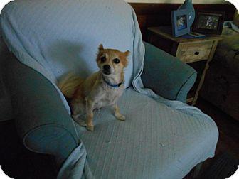 Pomeranian Dog for adoption in Kannapolis, North Carolina - Miranda -Adopted!