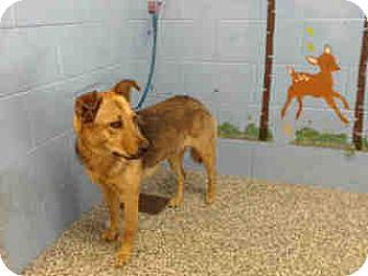 German Shepherd Dog/Shepherd (Unknown Type) Mix Dog for adoption in San Bernardino, California - URGENT ON 9/30  San Bernardino