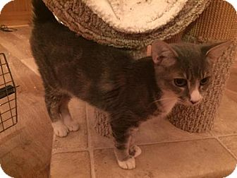 Domestic Shorthair Kitten for adoption in Baltimore, Maryland - Egon (Ghostbusters)