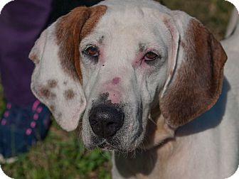 English (Redtick) Coonhound/English Pointer Mix Dog for adoption in Farmington, Michigan - Karen