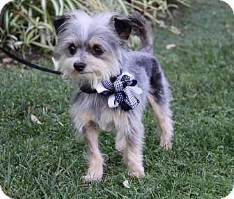 Yorkie, Yorkshire Terrier Mix Dog for adoption in Newport Beach, California - JOEY