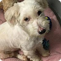 Adopt A Pet :: 'NONYA' - Agoura Hills, CA