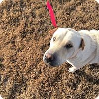 Adopt A Pet :: Sheba - Macomb, IL