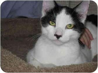American Shorthair Cat for adoption in Terre Haute, Indiana - Gunther