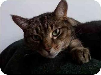Domestic Shorthair Cat for adoption in Erie, Pennsylvania - Cougar