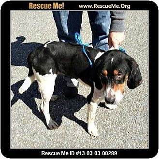 Treeing Walker Coonhound Mix Dog for adoption in Daleville, Alabama - Sookie
