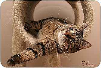Domestic Shorthair Cat for adoption in Sterling Heights, Michigan - Tina