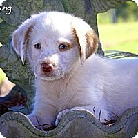 Adopt A Pet :: Channing - Flowery Branch, GA