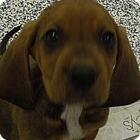 Adopt A Pet :: Redbone pups - Washington, PA
