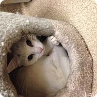 Adopt A Pet :: Angel - Gilbert, AZ
