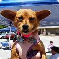 Adopt A Pet :: Foxy Roxy - Wilmington, DE