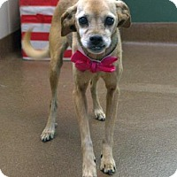 Chihuahua/Terrier (Unknown Type, Medium) Mix Dog for adoption in Rochester, Minnesota - Gabby (2015)