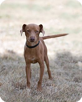 Vizsla Mix Dog for adoption in Salem, Oregon - Milo  Vizsla Oregon