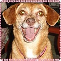 Beagle/Manchester Terrier Mix Dog for adoption in Santa Ana, California - Daisy