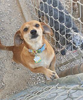 Dachshund/Chihuahua Mix Dog for adoption in Lubbock, Texas - Johnny