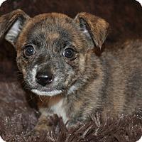 Adopt A Pet :: Phoebe (puppy) - Crocker, MO