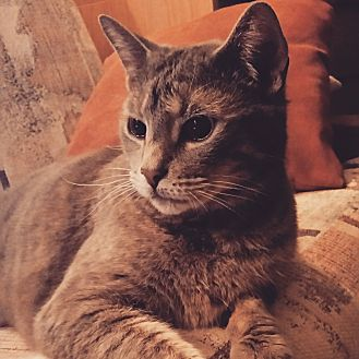 Domestic Shorthair Cat for adoption in Toronto, Ontario - Noella
