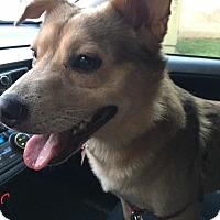 Shepherd (Unknown Type) Dog for adoption in Washington, D.C. - Doran
