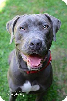 Weimaraner Mix Dog for adoption in Santa Monica, California - Silver