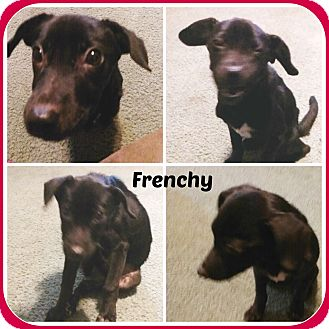Jack Russell Terrier Mix Puppy for adoption in Malvern, Arkansas - FRENCHY