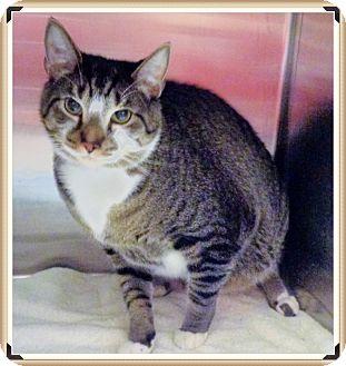 Domestic Shorthair Cat for adoption in Marietta, Georgia - KASH