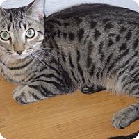 Domestic Shorthair Kitten for adoption in Quail Valley, California - Stars