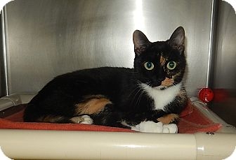 Domestic Shorthair Cat for adoption in Newport, North Carolina - Muskett (PetSmart New Bern)
