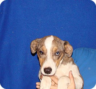 Australian Shepherd/Catahoula Leopard Dog Mix Puppy for adoption in Oviedo, Florida - Holly