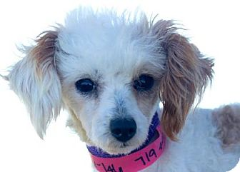Toy Poodle Dog for adoption in Colorado Springs, Colorado - Imogen