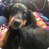 Adopt A Pet :: Janie - Springfield, MO