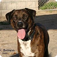 Adopt A Pet :: Mr. Brown - Santa Maria, CA