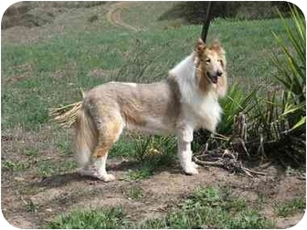 Collie/Collie Mix Dog for adoption in Trabuco Canyon, California - Gucci