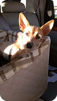 Corgi/Dachshund Mix Puppy for adoption in Santa Monica, California - Rikki