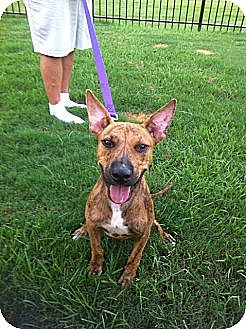 Boxer/Bull Terrier Mix Dog for adoption in Baton Rouge, Louisiana - Buzz